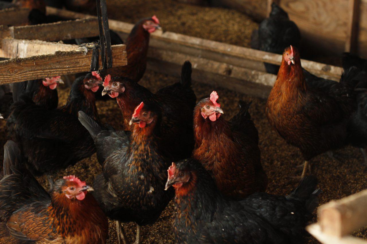 士別市,養鶏,卵,スモークチキン,平飼い,循環型農業